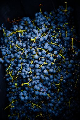 Grapes sit piled in a bin, waiting to be taken to the processing facility.