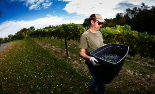Production assistant Jason Baalke carries freshly-picked grapes to a collection point.