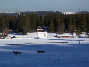 Foxes at Zakopane