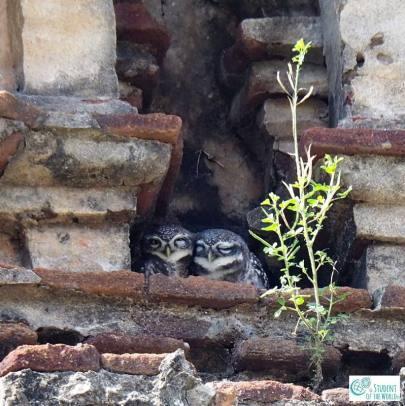 Owls in Temple in Auroville Bioregion