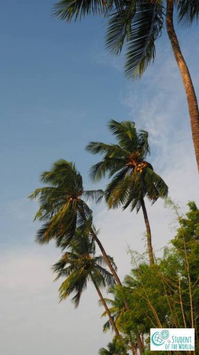 palm trees in Auro Orchard