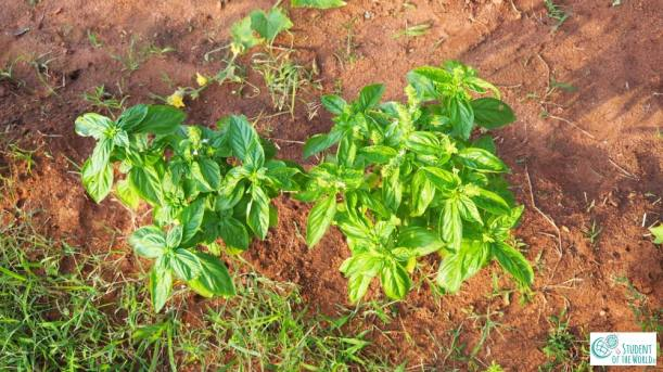 basil growing in red soil