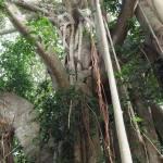 Banjan tree