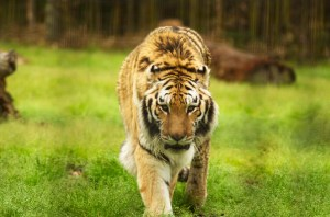 Kuasa, one of two Sumatran tigers that are the newest additions to the Hattiesburg Zoo, prowls through the exhibit Saturday afternoon.    Hunt Mercier/Printz