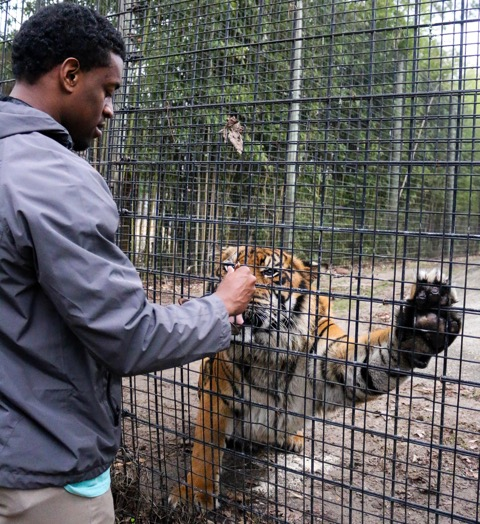 """Ducksworth feeding """"Cinta,"""" the second, more dominant one of two tiger brothers, to start his morning routine on Jan.17, at the Hattiesburg Zoo."""