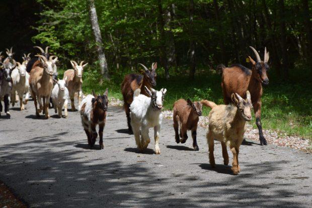 Mi smo na tej poti spomladi srečali koze
