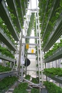 Pieds de bok choy (chou chinois) empilés verticalement sur 30 pieds de haut (un peu moins d'un mètre) dans une ferme urbaine de Singapour. Les légumes tournent sur un support en forme de A afin de leur assurer un éclairage uniforme.