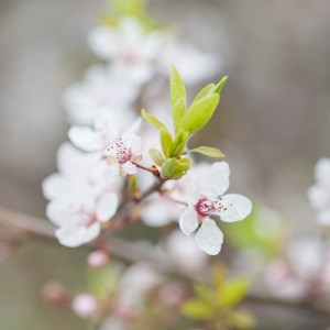 Kirschblüte, Frühling