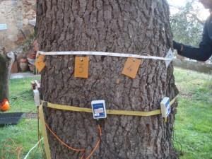 Tomografia sonica effettuata ad un metro e trenta su cedro vegetante nel comune di Montepulciano (SI) (Dicembre 2018)