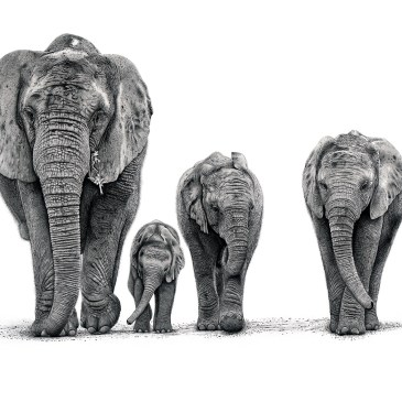 The Studio Art Gallery - African Elephants by Craig Ivor