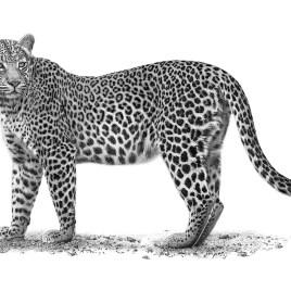 The Studio Art Gallery - African Leopard by Craig Ivor