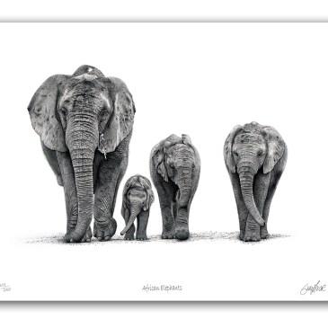 The Studio Art Gallery - African Elephants - Paper Print