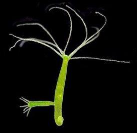 hydra viridissima sebagai contoh coelenterata