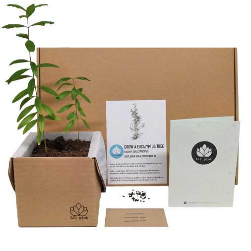 Lil Plot Eukalyptusbaum Anzuchtset