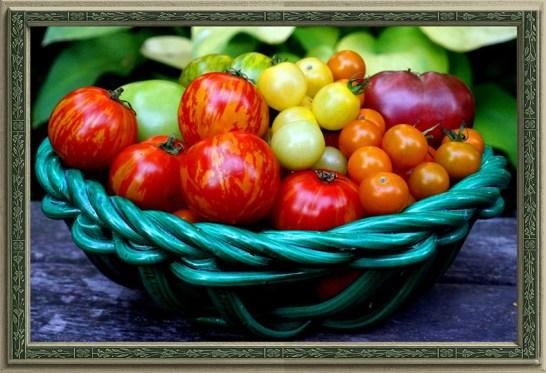 Homegrown Homage: Varieties Include Tigerella, Sun Gold, Moreton Hybrid, Snow White, Green Zebra, Cherokee Purple