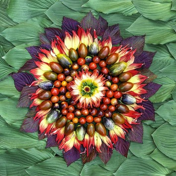 """A star inspired by a trip to our friends """"Labor of Love Flower Farm"""", which supplied the Dahlia flower and petals in use. This latest Celestial Vegetable composition is Amy's Sun of Summer Love. A core of Dahlia is surrounded by Tomatoes Sungold, Blue Berries, Shimmer Hybrid and Brad's Atomic Grape. The outer rays are made from more Dahlia petals and Red Shiso. With a background of Hosta Royal Standard and well as reverting sports of Hostas Guacamole and Striptease. Shine On My Friends!"""