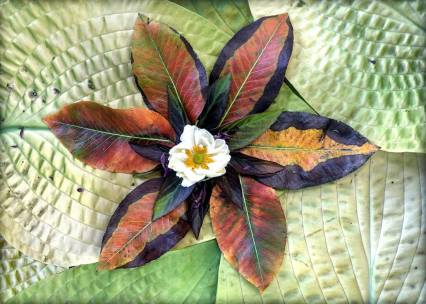 """As fall brings us the stars of Pegasus and Perseus, while the gems of Corona, the Crown of the North, lower in the west, so seasonal change comes to the heavenly bodies in my garden. Here then are the autumn leaves of an ancient Pear Tree and the leaves and flowers of Thai Basil. With a Japanese Anemone at its core, this bronzing sun floats in a sky of two Hostas: """"Chesterland Gold"""" and """"Jewel of the Nile."""" Plus the interstellar dust of pollen and flowers of Spearmint."""