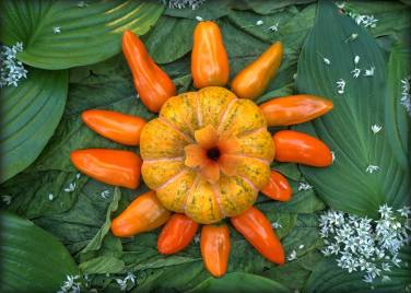 """Pumpkin Pepper Star"". A miniature pumpkin survivor of the previous year with rays of Sweet Pepper ""Tangerine Dream"", Black Eyed Susan vine flower core. A sky of Royal Standard and other Hostas and Jamaican Callaloo (Amaranth) and nebulosity of Garlic Chive Flowers."
