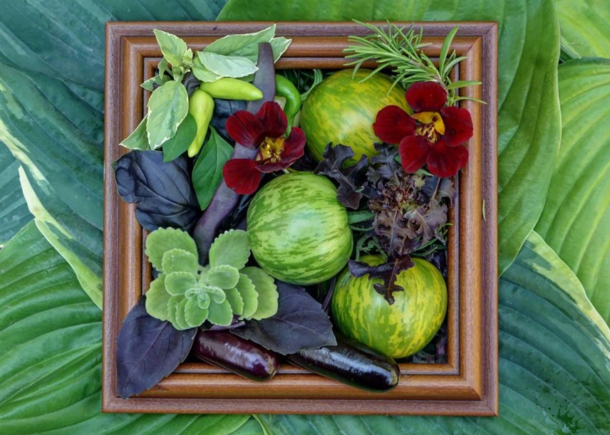 """Still Life with Green Zebras An Arrangement of Tomatoes """"Green Zebra"""" , Pole Beans """"Trionfo Violetto"""" , Egglant """"Hansel"""", Cuban Oregano, Basil """"Pesto Perpetuo"""" , Hot Pepper """"Rooster Spur"""", Basil """"Red Rubin"""", Rosemary """"Tuscan Blue"""", Lettuce """"Ruby Red"""" and Nasturtium """"Black Velvet."""" And framed on a background of Hostas. Always with the Hostas! (which are """"Sagae"""" and the Augst Lily) Trompe l'oeil but not Trompe l'oeil."""