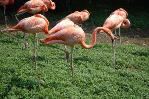 Flamingos standing on one leg