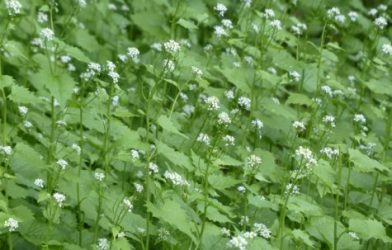 Garlic mustard weed plants