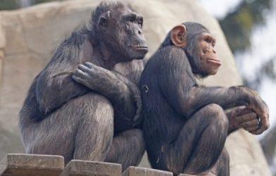 Pair of chimps