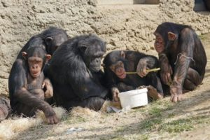 Chimpanzees eating