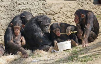 Chimpanzees eating