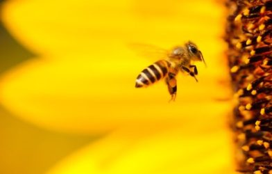 Bee flying into flower