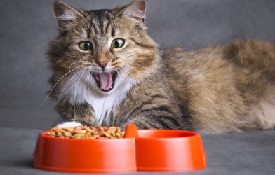 Cat opening its mouth looking at food