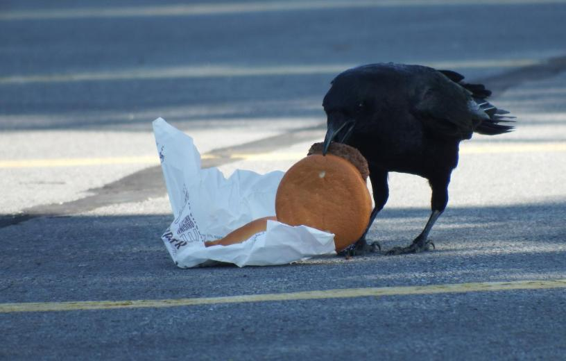 Crow eating a burger in a city