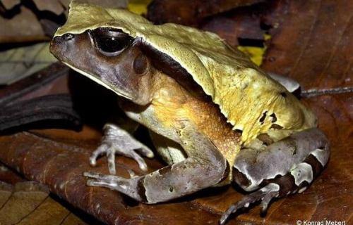 Toad mimics viper