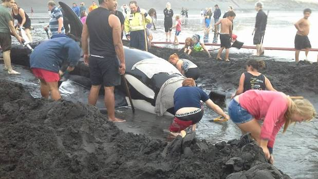 Rescuers work to save a stranded whale in Patea, South Taranaki.