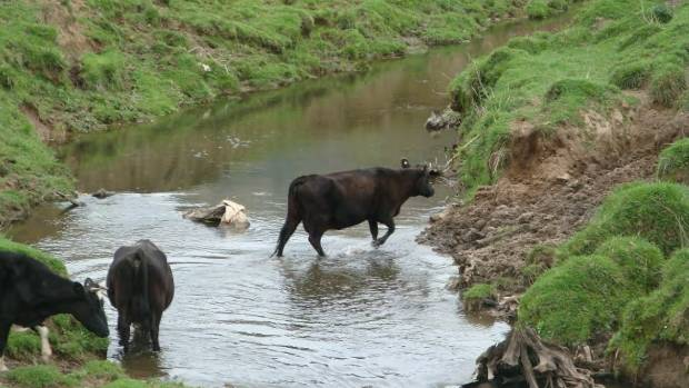 Cows in the Okana River, where banks have eroded into the water. The river forms the Takiritawai River and flows into ...