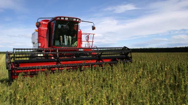 Hemp being harvested.