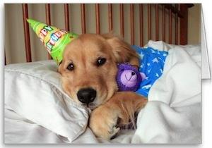 Super cute Golden Retriever Birthday Card