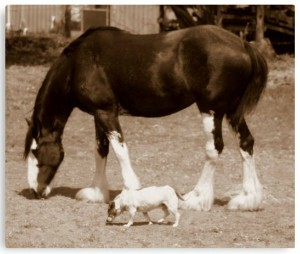 Clydesdale Horse and Dog Metal Poster