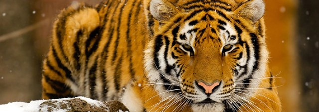 tiger-wallpapers-small