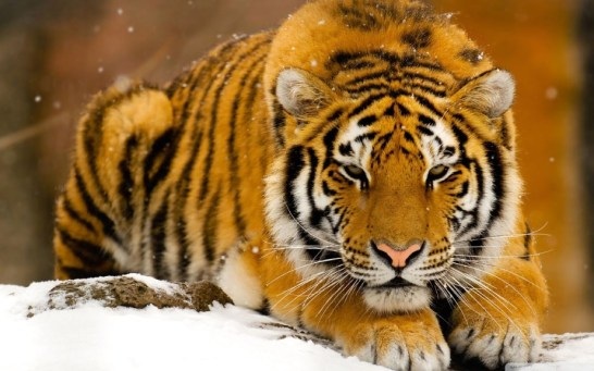 tiger-wallpapers-stugon.com (15)
