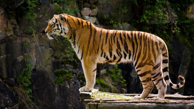 tiger-wallpapers-stugon.com (18)