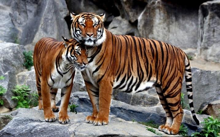 tiger-wallpapers-stugon.com (6)