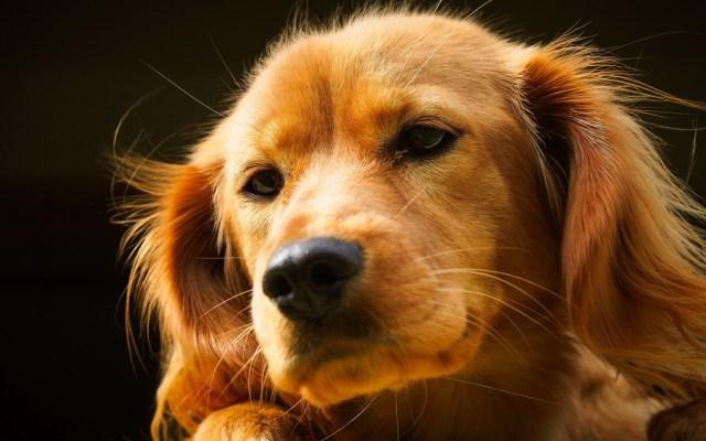 dog-wallpaper-collection-stugon.com (5)
