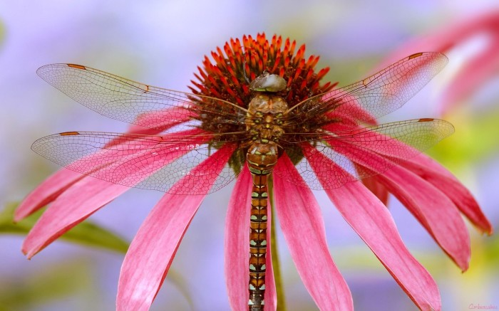 dragonflies-wallpapers-stugon (1)