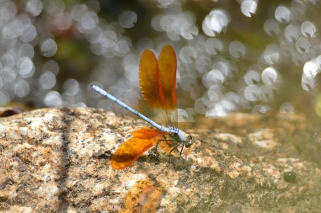 dragonflies-wallpapers-stugon (10)