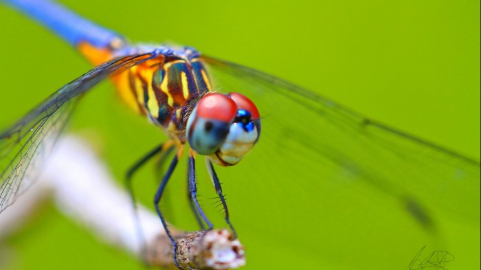 dragonflies-wallpapers-stugon (11)