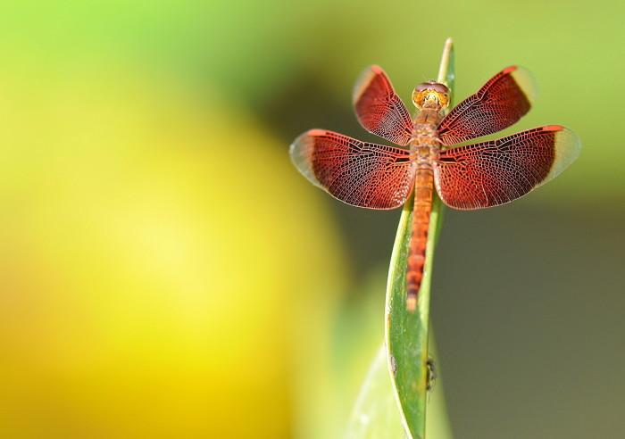 dragonflies-wallpapers-stugon (14)