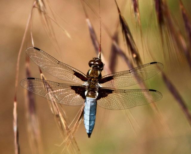 dragonflies-wallpapers-stugon (4)