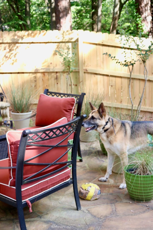oscar the german shepherd