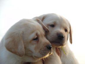 stylelabrador cuccioli labrador