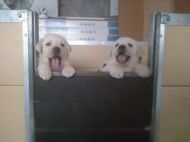 cuccioli biondi di labrador stylelabrador-2